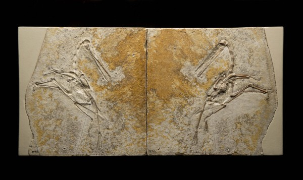 Pterodactylus fossil