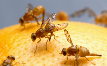 Female_Mexican_fruit_fly_insect_800x494