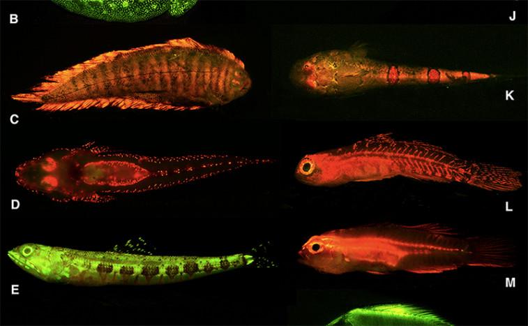 Fluorescent Fish Light Up The Deep Blue Sea