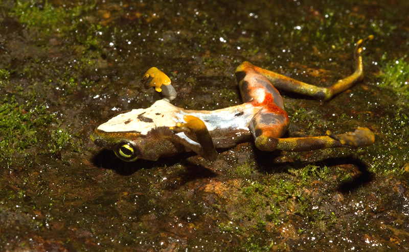 Animal Plagues_Dead_Bd-infected_Atelopus_limosus_at_Sierra_Llorona_Wiki_Brian Gratwicke