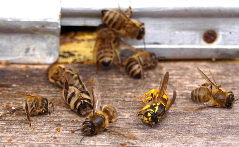 Animal Plagues_Wasp_attack_Wiki_Qypchak